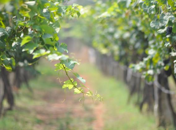 Vineyard at Kadu winery