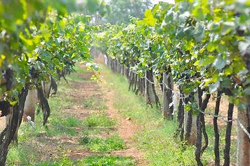 bangalore-wine-trails-vineyard1 (1).jpg