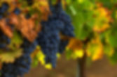 Wine grapes. Merlot is a dark blue-color