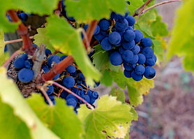 Grape vine of the Tempranillo variety gr