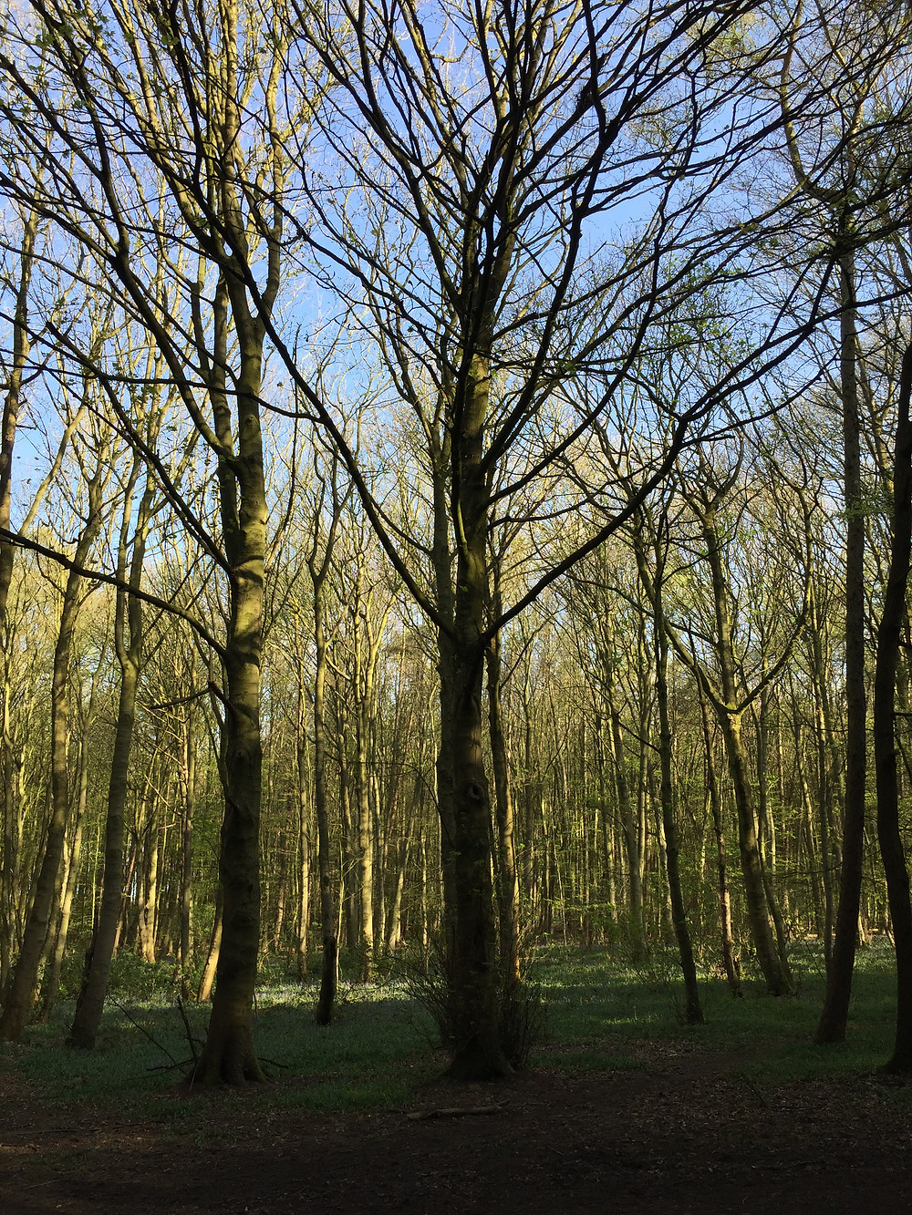 A Beech Tree woodland scape with the beginnings of a green carpet at the base of the trees, amongst last years leaves.