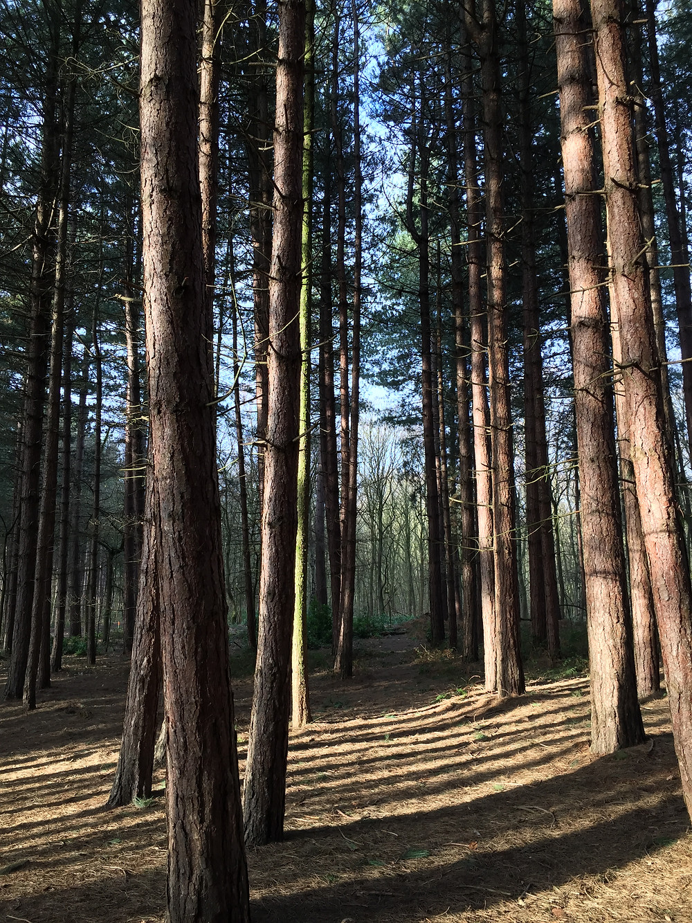 A view through the pine trees at Secker Woods, Newmillerdam with long shadows from early morning sunshine