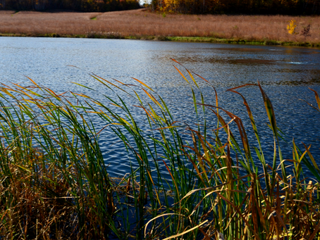 Managing Cattails and Phragmites on Your Property