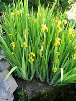 Yellow Iris full view.jpg