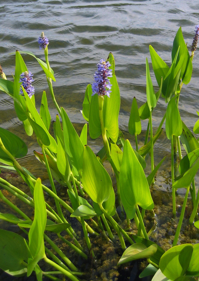 Pickerel full plant view.jpg