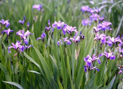 Blue Flag Iris full view.jpg