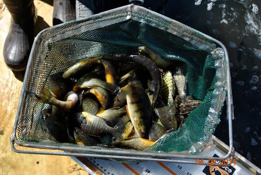 Joerres net of fish.JPG