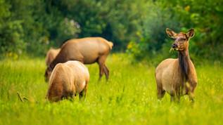 elk cows  (1 of 1).jpg
