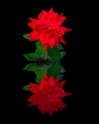 Rose Reflection