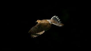 Dove In Light 4