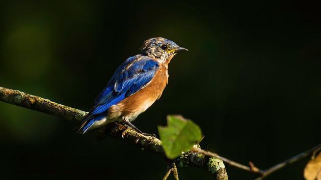 AARP Bluebird