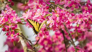 Crabapple Monarch