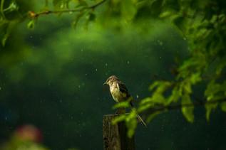 Mockingbird In Rain