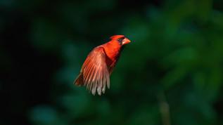 Red Bird Side Eye