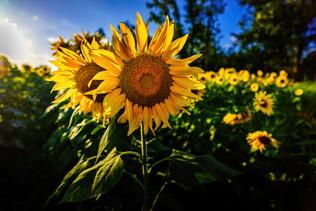 sunflower fight - backup  (1 of 1).jpg