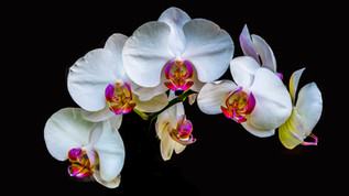 White Orchid on Black