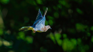 Blue Winged Dove