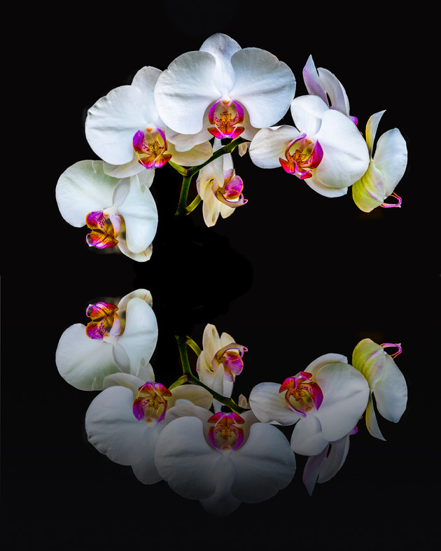 White Orchid Reflection