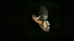 Dove In Light