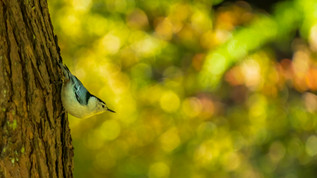 Nuthatch In Color