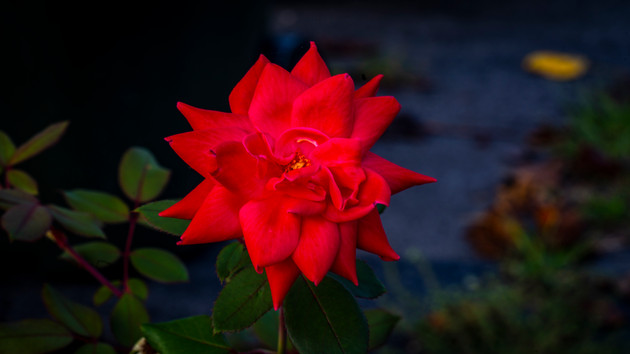 Late Evening Rose