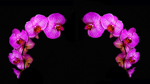 Pink Orchild Reflection
