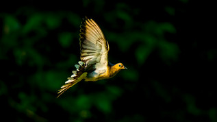 Dove In Light 3