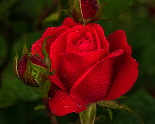 Early Season Rose