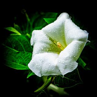 Dad's Moon Flower