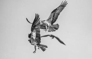 Osprey Chaos