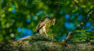 Bokeh Hawk
