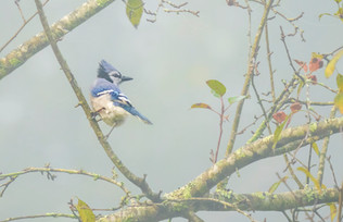 Blue Jay In Fog