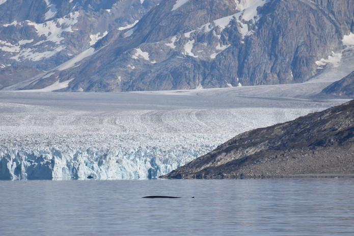 Glacier Whale