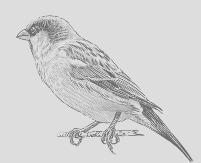Sparrow_Drawing.png