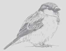 Sparrow_Drawing2.png