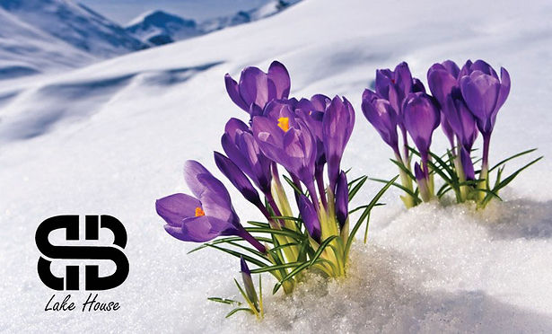 9067l_crocus_flowers_in_the_snow.jpg