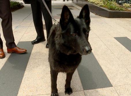 MLI Canine Ambassador Yankee on Capitol Hill