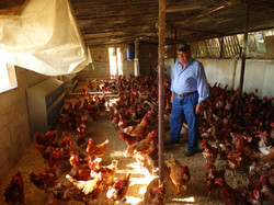 Mr. Mansoun and his Chickens