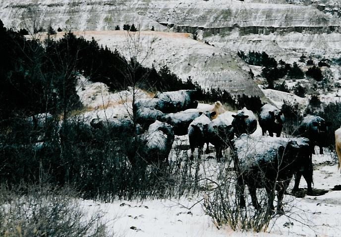 cows wintering the storm March 2006-1