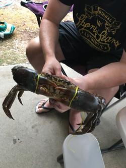 Clairview mud crab