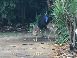Cassowaries at South Mission Beach