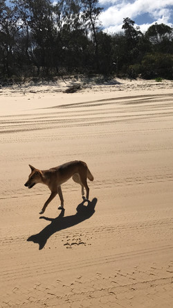 First dingo sighting within moments