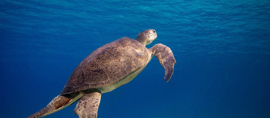Meeresschildkröten im Mittelmeer