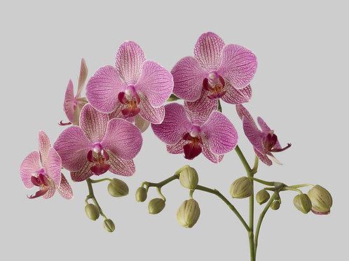 Sea Salt & Orchid Foaming Sugar Scrub
