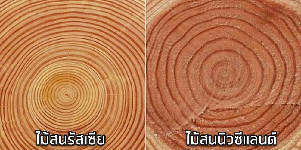 ไม้สน ไม้สนนอก ไม้สนรัสเซีย SAK WoodWorks ไม้แปรรูป มาจากไหน ผลิต ที่ไหน ดีอย่างไร แข็งแรง