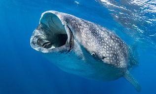 tiburon-ballena-696x418.jpg