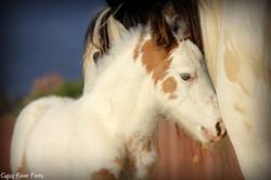 gypsy vanner stallion buckskin