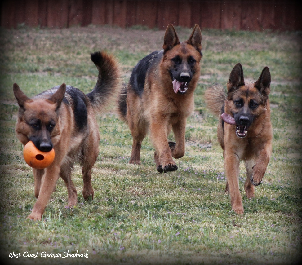 West Coast German Shepherds