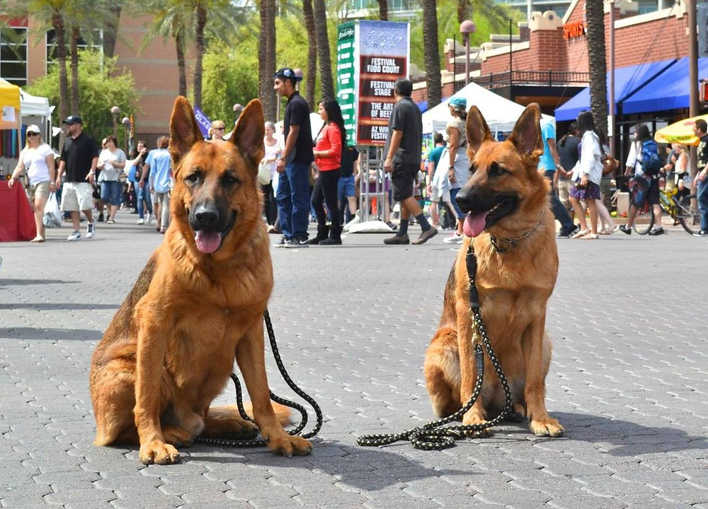 Trained German Shepherd Dogs
