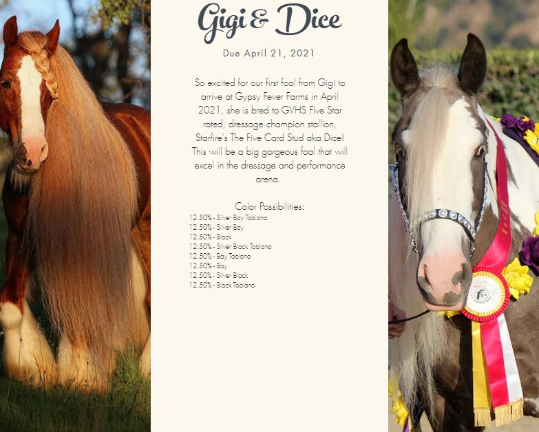 2021 Gypsy Vanner foals due - Starfire's The Five Card Stud and Majestic's Lady Guinevere